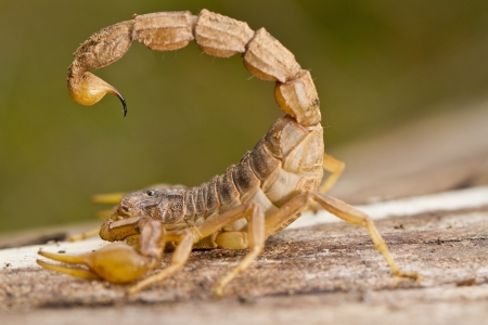Close view detail of a buthus scorpion (scorpio occitanus).