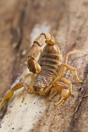 defensive posture: Close view detail of a buthus scorpion (scorpio occitanus).