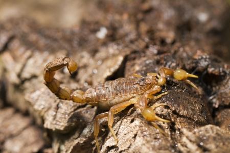 segmented bodies: Close view detail of a buthus scorpion (scorpio occitanus).