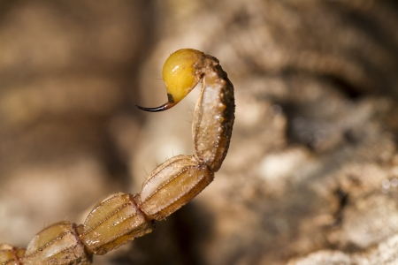 defensive posture: Close view detail of the tail of a buthus scorpion (scorpio occitanus). Stock Photo