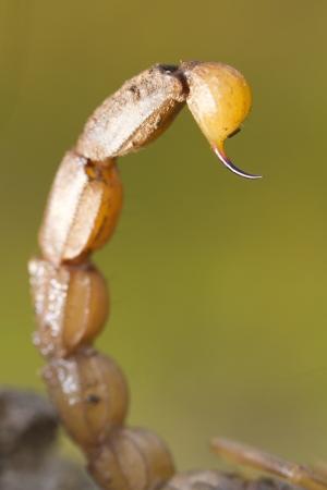 defensive posture: Cerrar vista detallada de la cola de un escorpi�n Buthus (scorpio occitanus). Foto de archivo