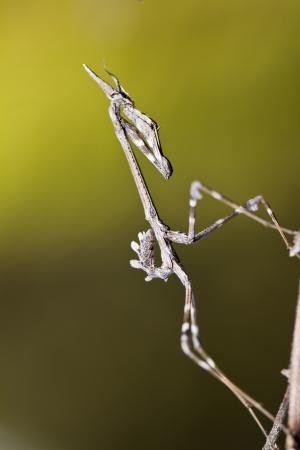 pennata: Close up view of an Mantis Palo (Empusa pennata) insect. Stock Photo