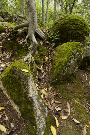 Beautiful view of a tree root surrounded by stone boulders covered in moss in the middle of the forest. photo