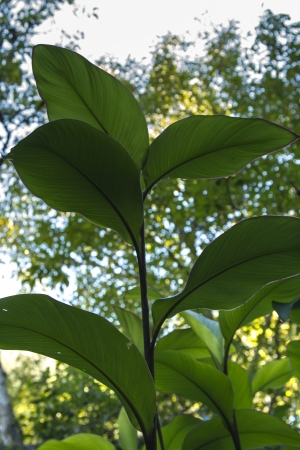 broad leaf: Close beneath view of a bunch of vegetation with broad lush leaf plants.