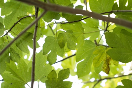 Close view of some fig tree leaves in the forest. photo