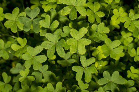 Top view of a group of clover plants on the nature. Stock Photo - 17427584