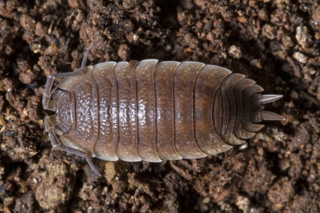 Close up view of a pillbug on the dirt. Stock Photo - 17428605