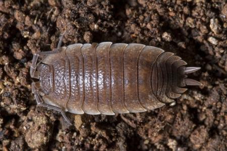 arthropoda: Close up view of a pillbug on the dirt.