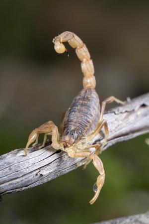 Close up view of a buthus scorpion (scorpio occitanus) in nature.
