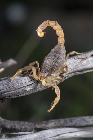 arthropod: Close up view of a buthus scorpion (scorpio occitanus) in nature.