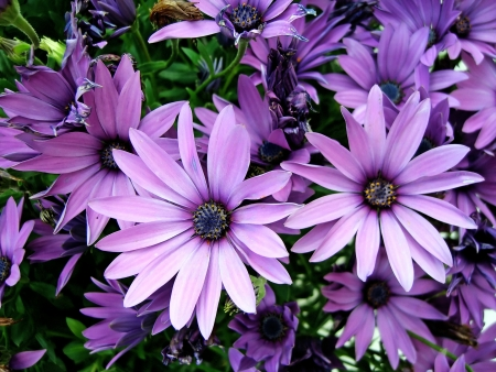 pluvialis: Several purple African Moon Daisys.