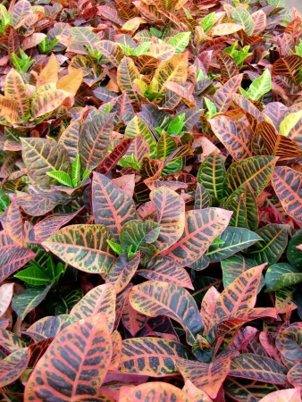 Vertical spread view of many Croton plants here seen on a greenhouse cultivar. photo