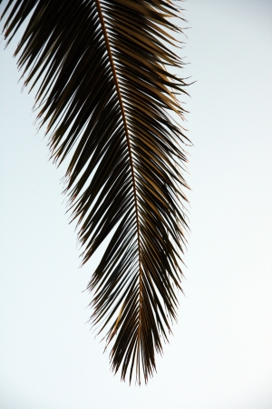 cycadaceae: Isolated view of the leaf of a palm tree.