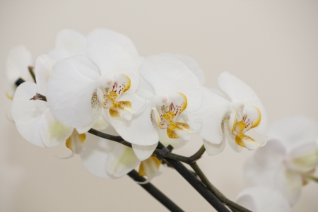 Close up of some white cultivar of orchid flowers. photo