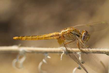 crocothemis: Close view detail of the beautiful Scarlet Darter (Crocothemis erythraea) dragonfly. Stock Photo
