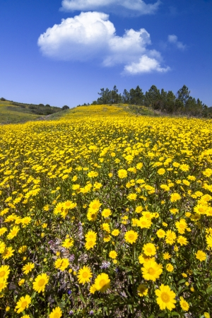 tree marigold: Beautiful view of a hill of yellow marigold flowers with trees behind. Stock Photo