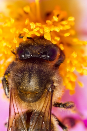 mellifera: Close up view of an European honey bee (Apis mellifera) collecting nectar from a flower.