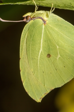 gonepteryx: Close up view of the beautiful Gonepteryx cleopatra  butterfly insect. Stock Photo