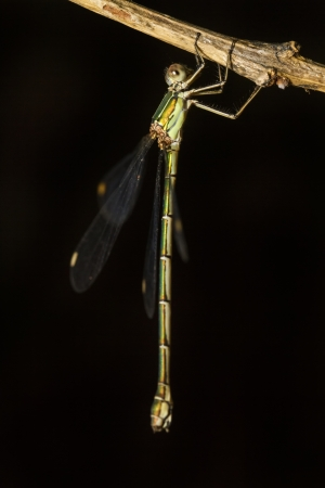 zygoptera: Close up view of the beautiful  Southern Emerald Damselfly (Lestes barbarus) insect.