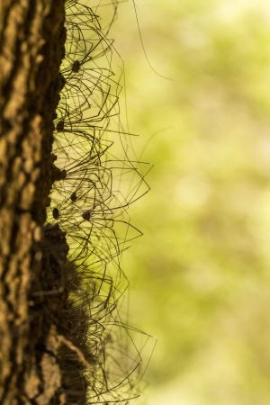 Close view of a bunch of Opiliones spiders on a tree. Stock Photo - 21483515