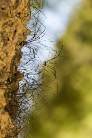 Close view of a bunch of Opiliones spiders on a tree. photo