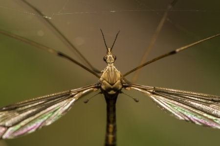 tipulidae: Close up view of a Crane fly insect.