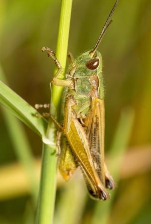 chorthippus: Close up view of the beautiful green grasshopper (Chorthippus apicalis).