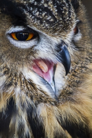 Close up view of the Eurasian Eagle-Owl (Bubo bubo).  photo