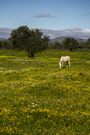 Beautiful relaxed scene of a white horse on a landscape field of yellow flowers. photo