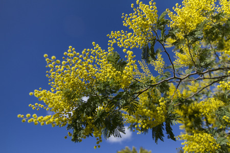 wattle: Close view of a branch of a yellow acacia tree over a blue sky.