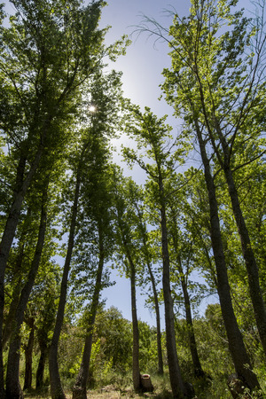 evergreen trees: View of tall evergreen trees in the countryside forest.