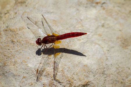 Close up view of a red dragonfly on a stone.  photo