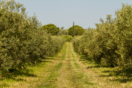 portugal agriculture: View of a agriculture plantation of olive trees in Portugal.
