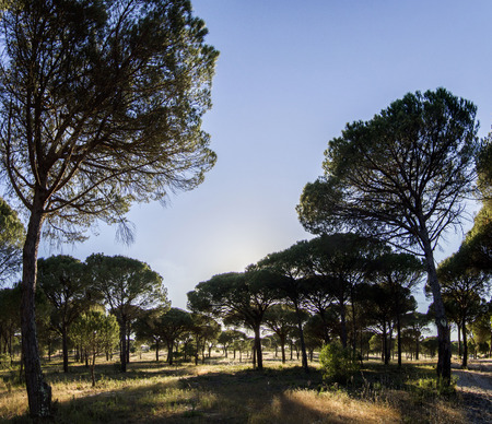 protected tree: View of a great pine tree forest on the protected region of Sado, Portugal.