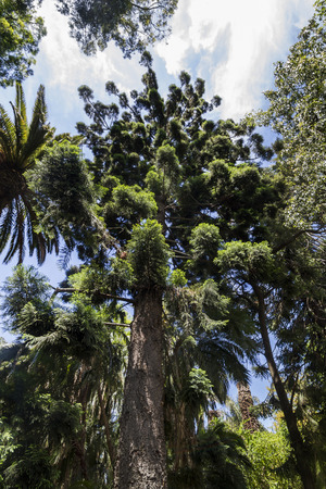 tall tree: View of a very tall tree on a botanical garden.