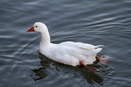 Top view of a white duck swimming on a pond.