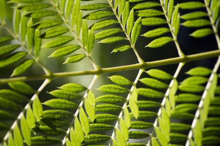 leaflets: Close macro view of a Bipinnate leaflets type of tree leaf.