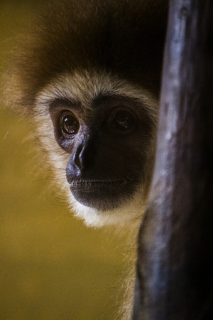 handed gibbon: Close up view of a  lar gibbon (Hylobates lar) monkey on a zoo.