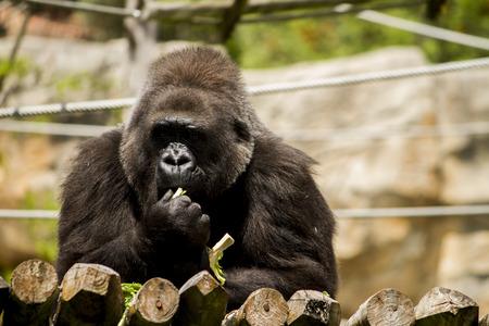 western lowland gorilla: View of a western lowland gorilla (Gorilla gorilla gorilla) on a zoo.