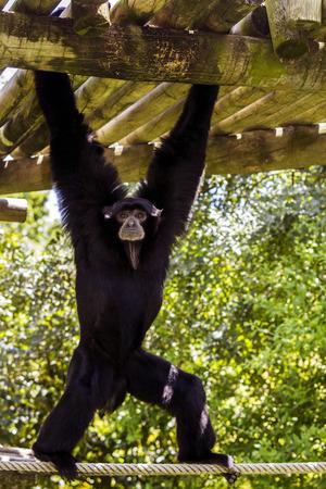 siamang: Close up view of a siamang (Symphalangus syndactylus) gibbon monkey.