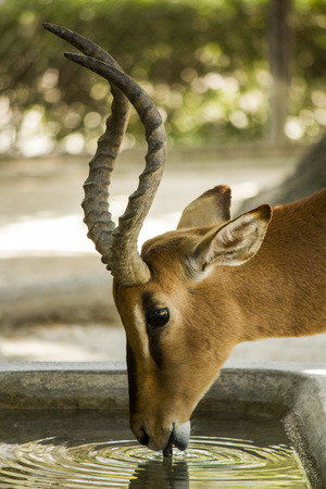 herbivore natural: Close up view of an Impala antelope drinking water.