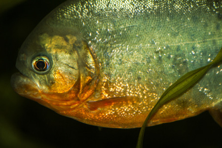 Close up view of a red bellied piranha fish on a tank. Stock Photo