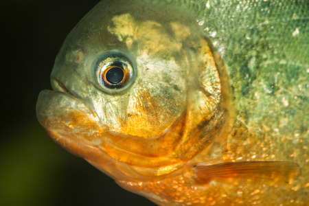 Close up view of a red bellied piranha fish on a tank. photo