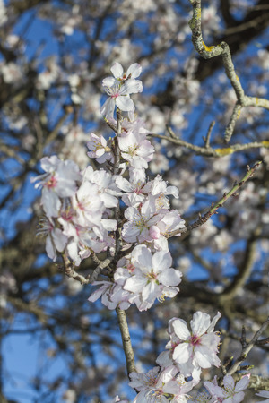 portugal agriculture: Close view of a branch of almond tree blossom flowers in nature. Stock Photo