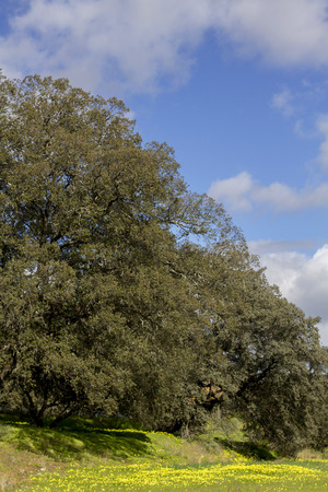 carob: View of carob trees in the spring countryside of the Algarve region, Portugal.