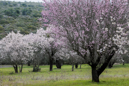 Beautiful view of almond trees in full bloom in nature. Imagens