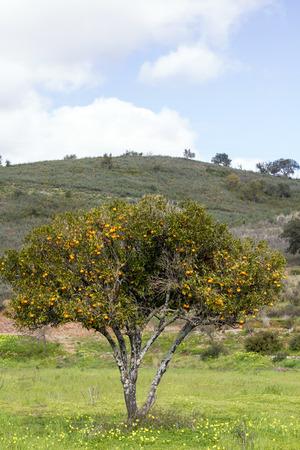 region of algarve: View of a single orange tree on the countryside of the Algarve region, Portugal. Stock Photo