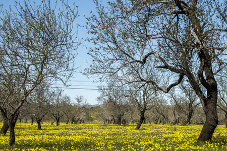 portugal agriculture: View of an almond orchard in a field of yellow flowers in the countryside of Portugal.