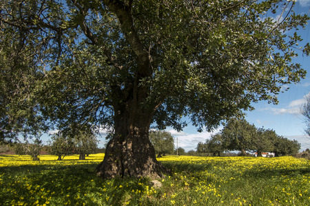 portugal agriculture: View of an carob tree orchard in a field of yellow flowers in the countryside of Portugal.