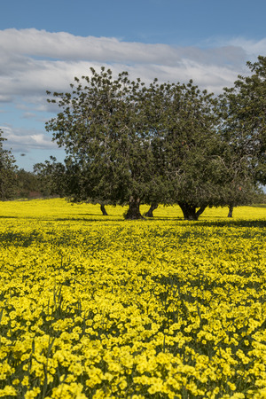 carob: View of an carob tree orchard in a field of yellow flowers in the countryside of Portugal.